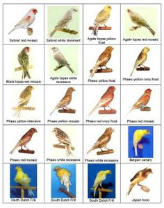 Types of Canary Birds