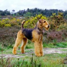 Airedale Terrier Dog Lovers