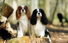 Cavalier King Charles Spaniels- I want one of these to add to my collection!
