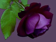 This photo is from a photography site and didn't have a caption to identify the rose, but I have seen purple roses, such as Ebb Tide and Midnight Blue.