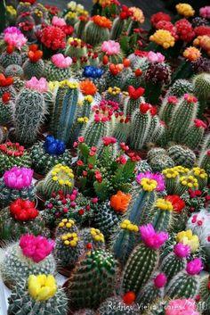Cactus Y Suculentas, Cacti And Succulents, Cacti Garden, Flowering Succulents, Succulent Terrarium, Blooming Succulents, Succulent Seeds, Blooming Flowers, Lavender Flowers