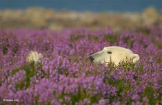 Polar Bear (ursus maritimus) relaxing and sticking out tongue in Fireweed (Epilobium angustifolium) on sub-arctic flower covered island at Hubbart Point, Hudson Bay, near Churchill, Manitoba, Northern Canada. Champs, Hudson Bay, Arctic Fox, Tier Fotos, Cute Bears, Nature Animals, Landscape Photos, Wildlife Photography, Fields