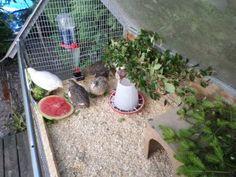 Nå har vi hatt vaktler en liten stund og disse søte små hønene er helt geniale! De bor i et stort kaninbursom har en isolert del. Vakter er noe man kan ha enten man bor i byen eller på landet, de ...