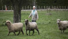 Feilding woman Sue Fielder, who has coloured sheep and spins and weaves her own fleeces. Country Living, Spinning, Sheep, Weaving, Age, Woman, Animals, Country Life, Hand Spinning