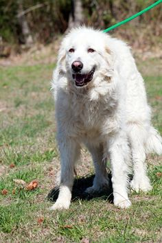 Great Pyrenees dog for Adoption in Sparta, TN. ADN-482742 on PuppyFinder.com Gender: Female. Age: Adult
