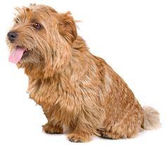 Adorable Norfolk Terrier  via http://www.allsmalldogbreeds.com/breeds/norfolk-terrier.jpg
