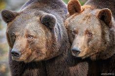 European Brown Bears - Micha Röder 500px
