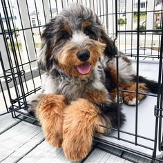 Train your AussieDoodle to be a therapy dog, emotional support dog, or even a service dog. Cute Dogs And Puppies, I Love Dogs, Doggies, Aussie Puppies, Chihuahua Dogs, Baby Dogs, Aussie Doodle Puppy, Baby Animals, Cute Animals