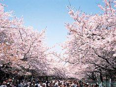 #japan #cherryblossoms #kanto #tokyo 上野恩賜公園