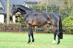 Fire And Ice「For Contest x Cracker Jane」Westphalian Stallion