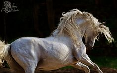 Do you give the horse his strength or clothe his neck with a flowing mane? (Job 39:19)  PRE Andalusian horse Zingaro