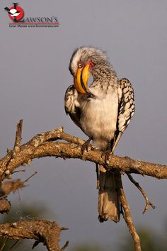 Birding and Wildlife Safari Company Offering First-Class Birding and Wildlife Trips to a Range of Countries in Southern and Eastern Africa. Wildlife Safari, 23 November, Kruger National Park, Top Destinations, Small Groups, Southern, Africa, Birds, Yellow