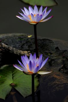 Water lilies #flowers i have these in kpurple and white in my pond... Beautiful.ab