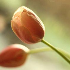tulips/orange/flowers/nature