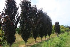 Deciduous, very upright, columnar tree. Foliage is purple and is slightly dissected. Perfect for a tight spot or a vertical accent in the garden. Medium growth rate.