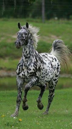Appaloosa horse running toward you Caballos Appaloosa, Appaloosa Horses, Breyer Horses, Most Beautiful Horses, All The Pretty Horses, Rare Horses, Wild Horses, Beautiful Creatures, Animals Beautiful