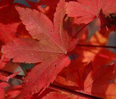 Kigi Nursery - Acer palmatum ' Herbstfeuer ' Japanese Maple Tree, $20.00 (http://www.kiginursery.com/maples/acer-palmatum-herbstfeuer-japanese-maple-tree/)