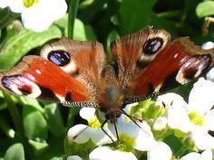 Motylki fruwają.