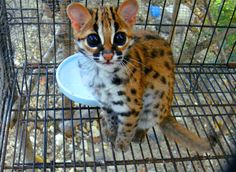 """The ocelot, also known as the dwarf leopard, is a wild cat distributed extensively over South America including the islands of Trinidad and Margarita, Central America, and Mexico. It has been reported as far north as Texas. North of Mexico, it is found regularly only in the extreme southern part of Texas, although there are rare sightings in southern Arizona."" http://en.wikipedia.org/wiki/Ocelot"