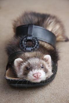 Cute Ferret stuck in a shoe.