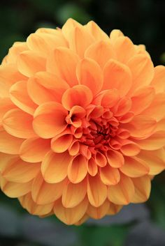 Dahlia Dahlia Flowers, Calla Lily, Amazing Gardens, Landscaping, Rose, Nature, Plants, Flowers, Pink