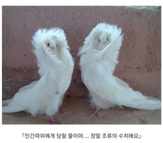 The Jacobin is a breed of fancy pigeon developed over many years of selective breeding that originated in Asia. The Jacobin is a breed of fancy pigeon developed over many years of selective breeding that originated in Asia. Animals And Pets, Funny Animals, Cute Animals, Animal Memes, Baby Animals, Jacobin Pigeon, Types Of Pigeons, Pigeon Breeds, Pigeon Bird