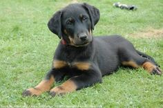 Beauceron Pictures | Source : http://www.nextdaypets.com/directory/breeds/1100026/