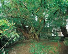 Scotland's oldest trees, including the Fortingall Yew (Perthshire) Estimated to be perhaps 5,000 years old, the Fortingall Yew is certainly the UK's oldest tree and probably the oldest living thing in Europe.