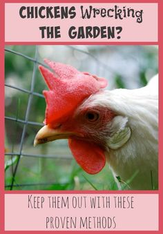 Are your chickens wrecking your beautiful garden? You' These proven methods will allow your flock and your crops to live in harmony together. Chicken Coop Decor, Chicken Garden, Building A Chicken Coop, Chicken Coops, Chicken Ideas, Chicken Wire, Keeping Chickens, Raising Chickens, Pet Chickens
