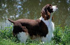 English Springer Spaniel Dog Breed Profile