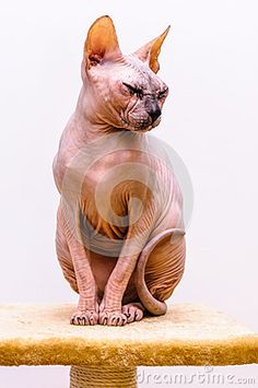 Royalty Free Stock Photo: sphynx cat stand sphinx breed pet shop tongue out mouth isolated white background. Sphinx Cat, Cat Stands, Cat Breeds, Pet Shop, Royalty Free Stock Photos, Lion Sculpture, Statue, Pets, Animals