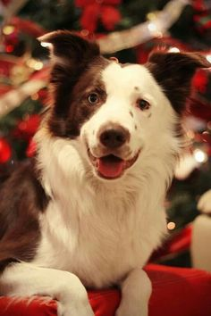 Brownie Christmas border collie