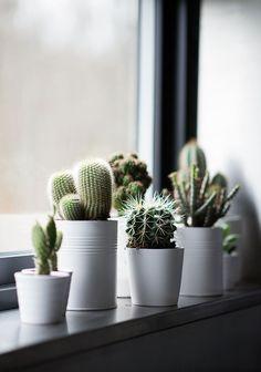 Cactos em latas e vasinhos brancos no peitoril da janela. Arranjos de Plantas Suculentas em Xícaras