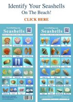 I great guide for shelling on Sanibel - Identify Seashells Guide