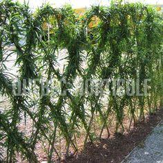 Pour cacher poteau corde à linge des voisins ou boîtes électriques Hydro! Salix viminalis; Feuillage vert argenté avec tiges souples que l'on peut tresser - croissance rapide - racines drageonnantes.