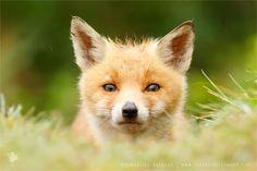 Bad Fur Day - Young Fox Cub by thrumyeye.deviantart.com on @DeviantArt