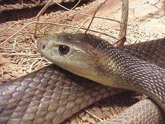 Τα δηλητηριώδη φίδια της Ελλάδας – Τί πρέπει να κάνετε αν σας δαγκώσουν Australia Pictures, Snake, Animals, Beautiful, Animales, Animaux, Snakes, Animal, Animais