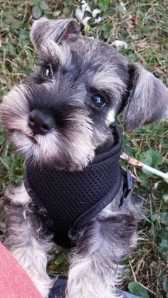 Schnauzers are so smart, and so doggoned cute.