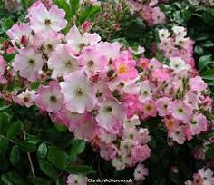 Ballerina Hybrid Musk rose, 6'-10' climber with apple-blossom clusters