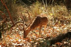 kanha, wildlife sanctuary, deers, kanha deer