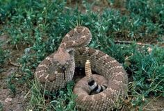 SHTF Medical Skill of the Day: Snake Bite First Aid. Really need this info for my urban homestead. Rattlesnakes are frequent visitors. Survival Prepping, Emergency Preparedness, Survival Skills, Survival Weapons, Survival Hacks, Survival Stuff, Survival Equipment, Wilderness Survival, Rattlesnake Bites