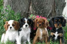 English Cream Golden Retriever Puppies for Sale, Cavalier King Charles Puppies for sale, Pomeranian Puppies for Sale