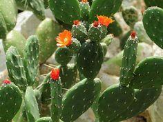 Opuntia quitensis,