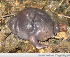 Indian Purple Frog, only spends about two weeks of it's life above ground