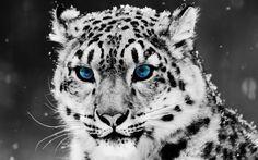 Wallpaper Tigre Blanco