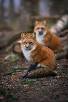 a pair of red foxes | animal + wildlife photography