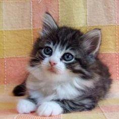 Norwegian forest cat. What a heart melter.