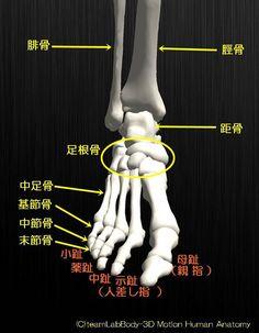人の骨の名称を解剖のイラスト図足部