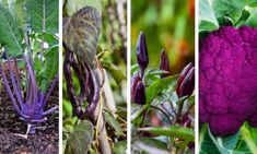 15 Plants That Bloom All Summer Long Purple Vegetables, Growing Vegetables, Veggies, Container Gardening Vegetables, Garden Plants Vegetable, Diy Garden Projects, Garden Yard Ideas, Vinegar Uses, Mosquito Repelling Plants