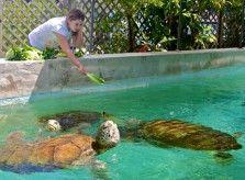 Hand-feeding sea turtles in Bermuda. For more, visit GreenGlobalTravel.com!